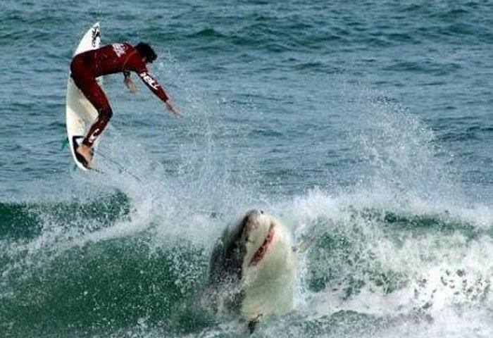 shark-surfer